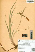 Carex drymophila Turcz.