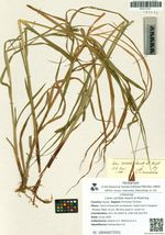 Carex sordida Heurck et Muell.Arg.