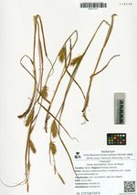 Carex drymophila Turcz. ex Steud.