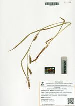 Carex sordida Heurck & Muell. Arg.
