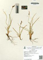 Carex stylosa C.A. Mey.