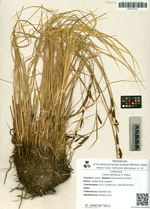 Carex perfusca V. Krecz.