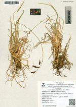 Carex stenocarpa Turcz. ex V. Krecz.