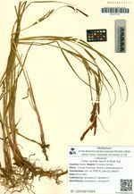 Carex sordida Heurck et Muell. Arg.