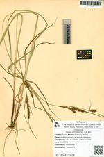 Carex orthostachys C.A. Mey.