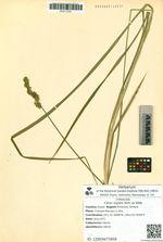 Carex stipata Muhl. ex Willd.