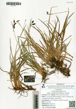 Carex podocarpa  R. Br. subsp. koraginensis (Meinsh.) Galanin