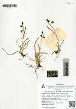 Carex podocarpa R. Br. subsp. podocarpa Galanin