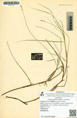 Carex pseudocuraica Fr. Schmidt