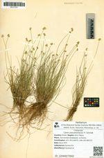Carex pseudololiacea Fr. Schmidt