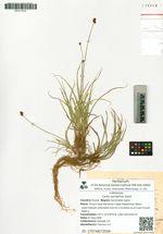 Carex pyrophila Gand.
