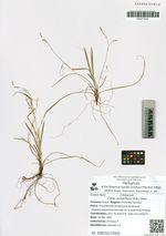 Carex quadriflora (Kük.) Ohwi