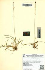 Carex algida Turcz. ex V. Krecz.