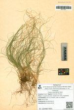 Carex ussuriensis Kom.