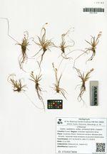 Carex capillaris L. subsp. williamsii (Britt.) Galanin