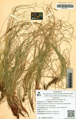 Carex vanheurckii Muell. Arg.