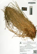 Carex wiluica Meinsh.