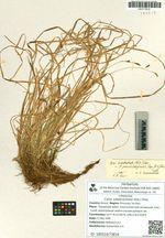 Carex subebracteata (Kük.) Ohwi