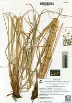 Carex spongifolia A.E. Kozhevnikov