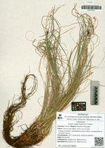 Carex supermascula V. Krecz.