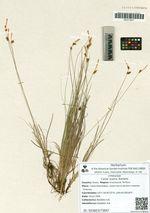 Carex supina Wahlenb.