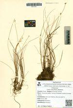 Carex tenuiflora Wahlenb.