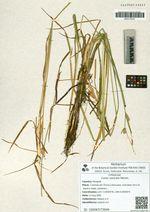 Carex vesicata Meinsh.