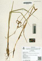 Carex vesicaria L.