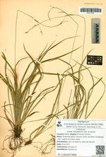 Carex tenuiformis Lévl. & Vaniot