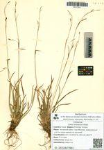 Carex komarovii Koidz.