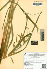 Carex tuminensis Kom.