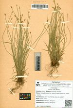 Carex uda Maxim.