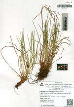 Carex ulobasis  V. Krecz.