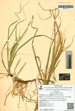 Carex xyphium Kom.