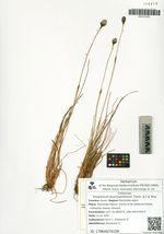 Eriophorum brachyantherum Trautv. & C.A. Mey.