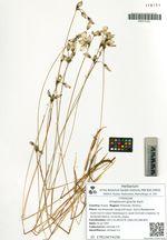 Eriophorum gracile Koch