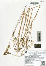 Eriophorum komarovii V. Vassil.