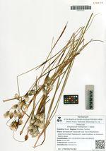 Eriophorum komarovii V. Vassil