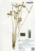 Juncellus serotinus (Rottb.) Clarke