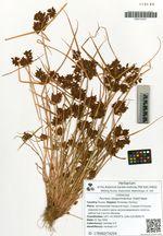 Pycreus sanguinolentus (Vahl) Nees