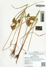 Cyperus glomeratus L.