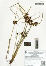 Cyperus difformis L.