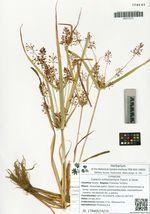 Cyperus orthostachyus Franch. & Savat.