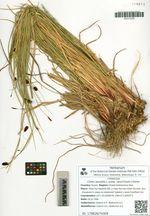 Carex saxatilis L. subsp. laxa (Trautv.) Kalela