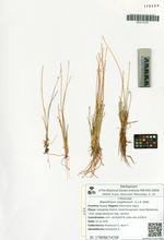 Baeothryon cespitosum  (L.) A. Dietr.