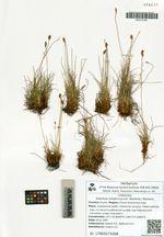 Kobresia simpliciuscula (Wahlenb.) Mackenz.