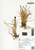 Carex tatjanae Malyschev