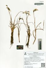 Eriophorum polystachyon L.