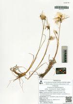 Eriophorum polystachyon L. subsp. komarovii (V. Vassil.) Galanin