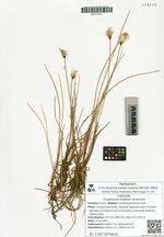 Eriophorum medium Andersson